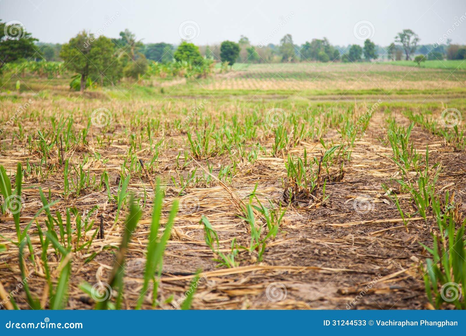 sugarcane farming business plan pdf