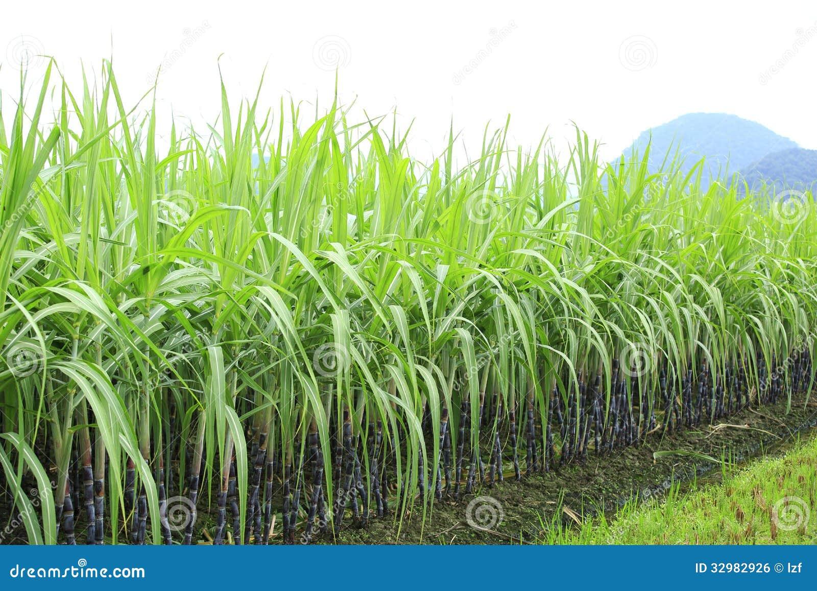 Sugarcane At Field Royalty Free Stock Image
