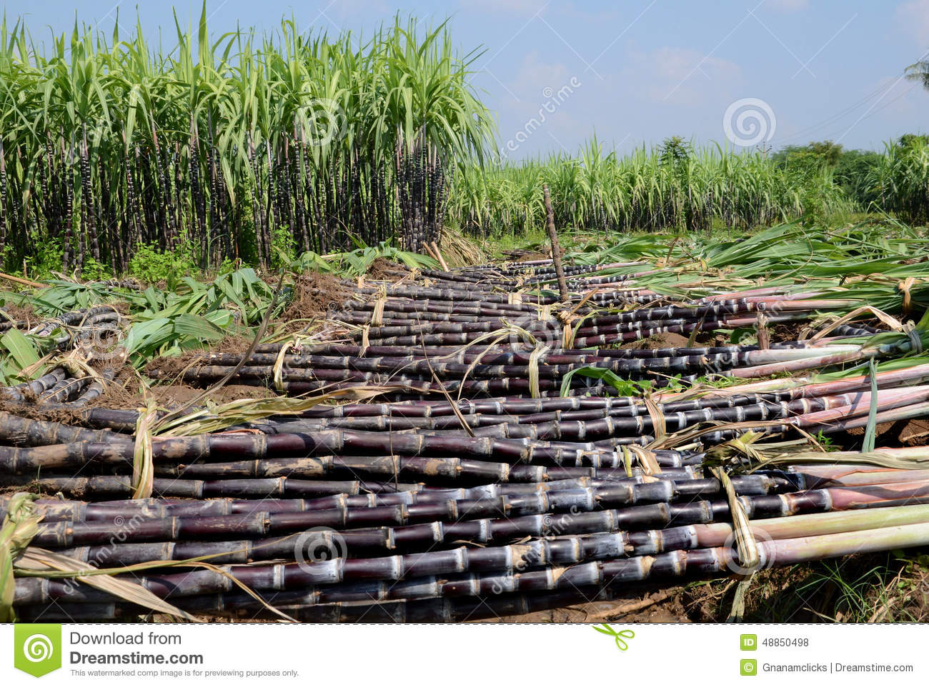 SUGARCANE HARVEST Stock Photo - Image: 48850498