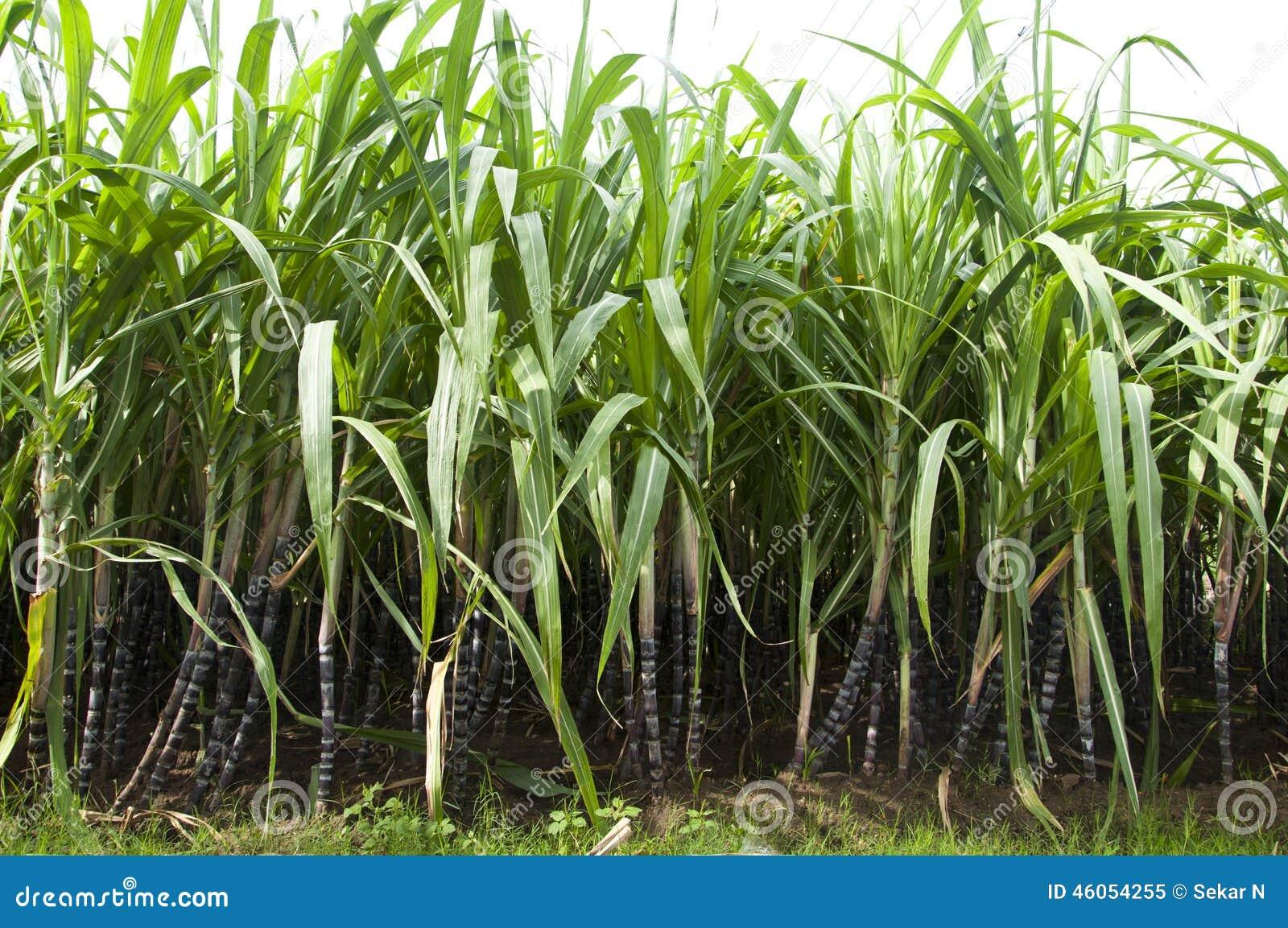 how to choose a sugar cane