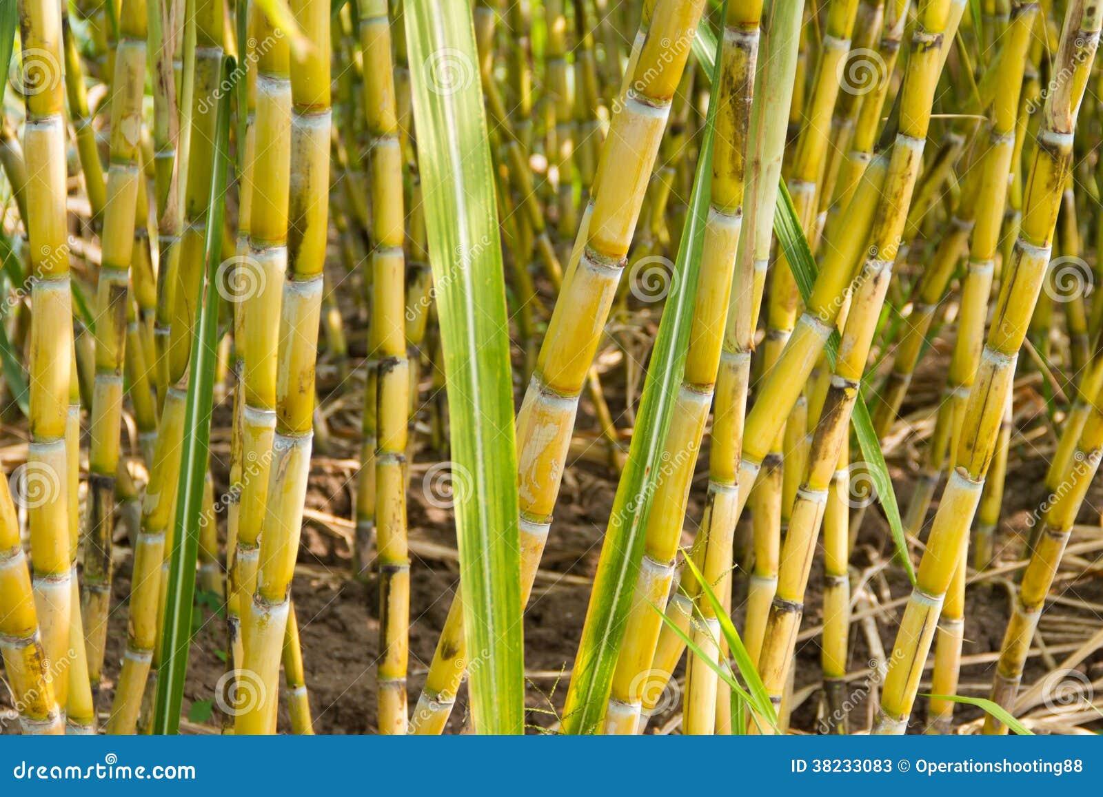 Sugarcane Plants Stock Image. Image Of Fresh, Field, Crop