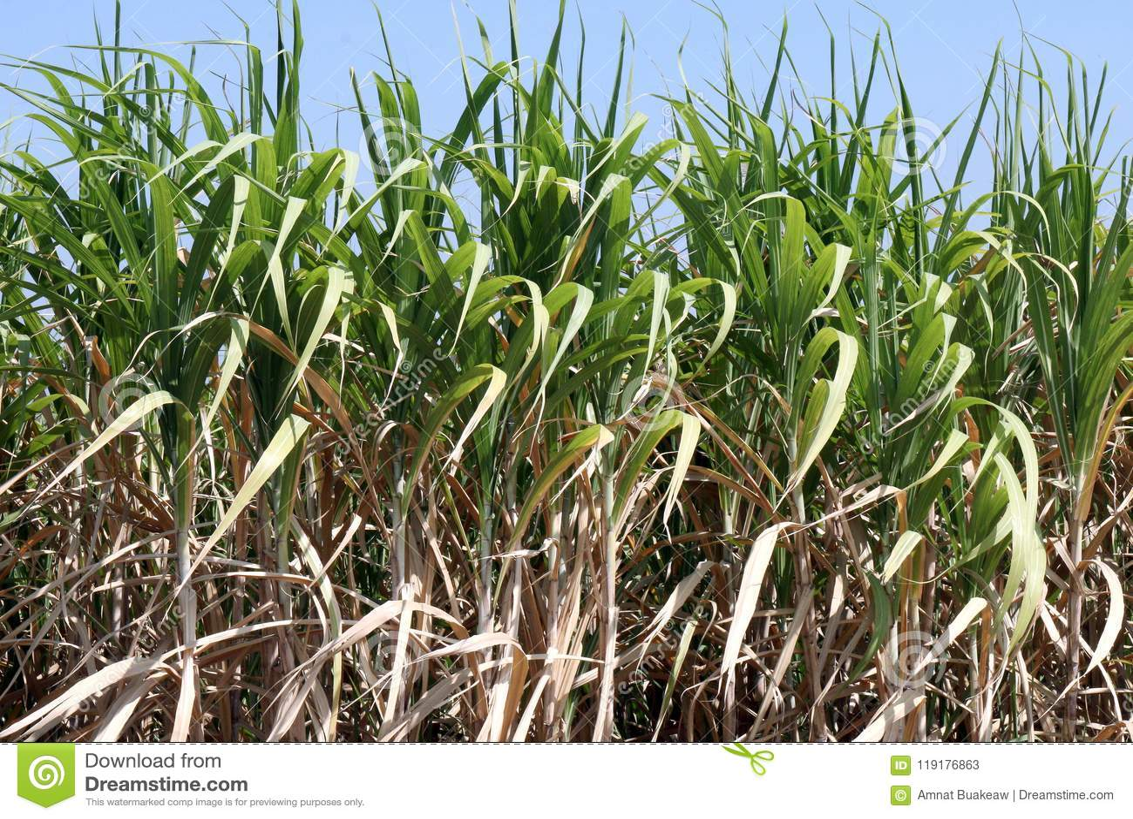 Sugar cane plants grow in field, Plantation Sugar cane tree farm, Background of sugarcane field