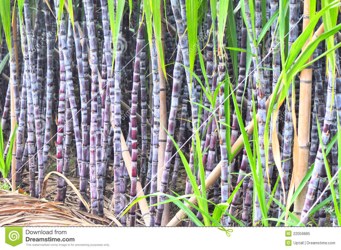 Sugarcane In Row Royalty Free Stock Photo - Image: 22059885