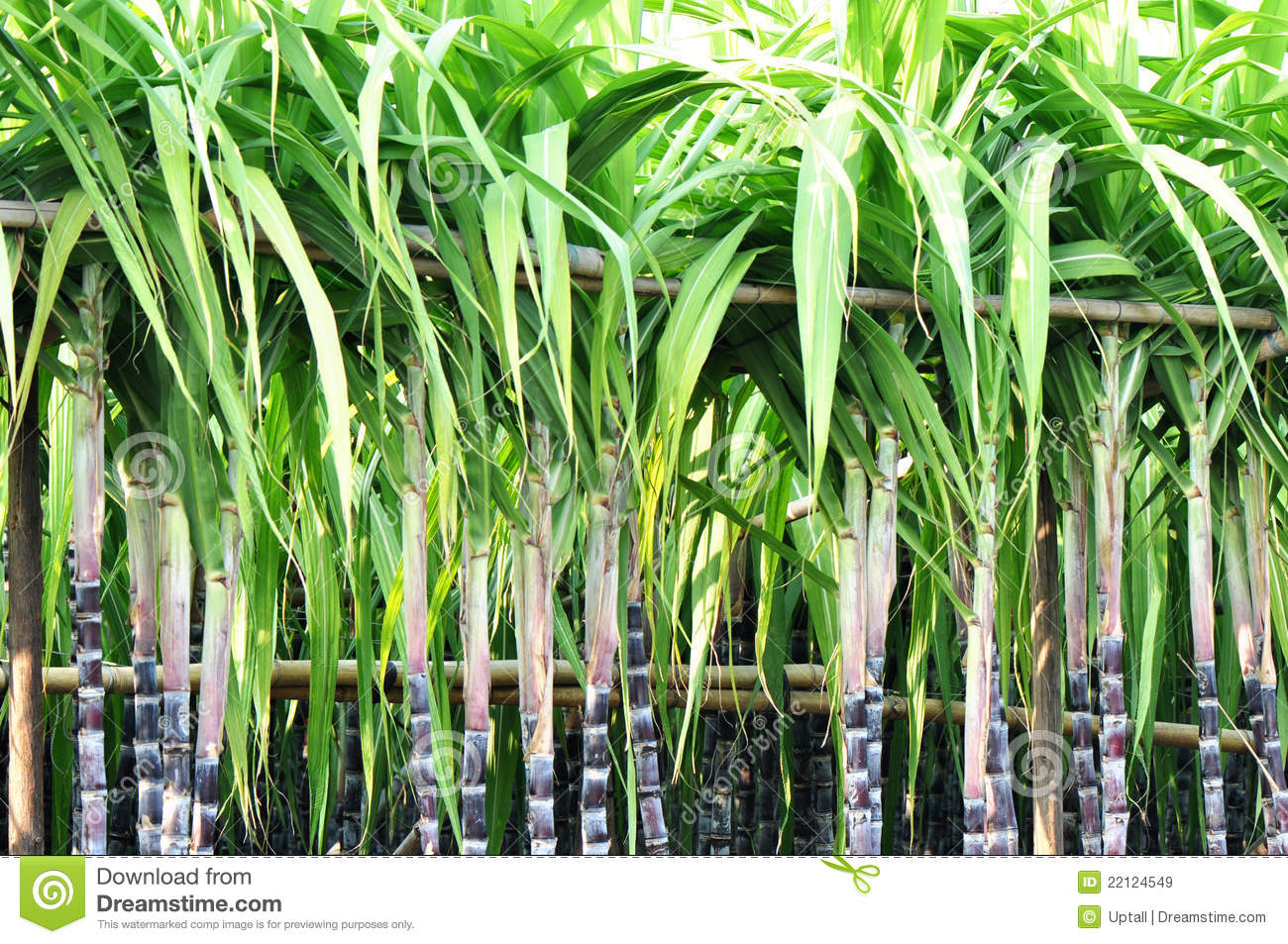 Sugarcane Stalks Steady With Bamboo Pole Royalty Free
