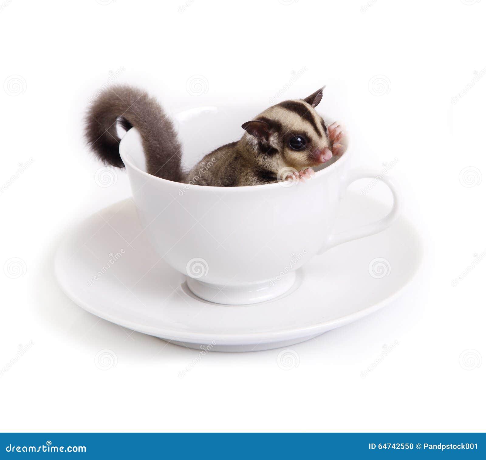 Sugarglider sveglio in tazza ceramica bianca