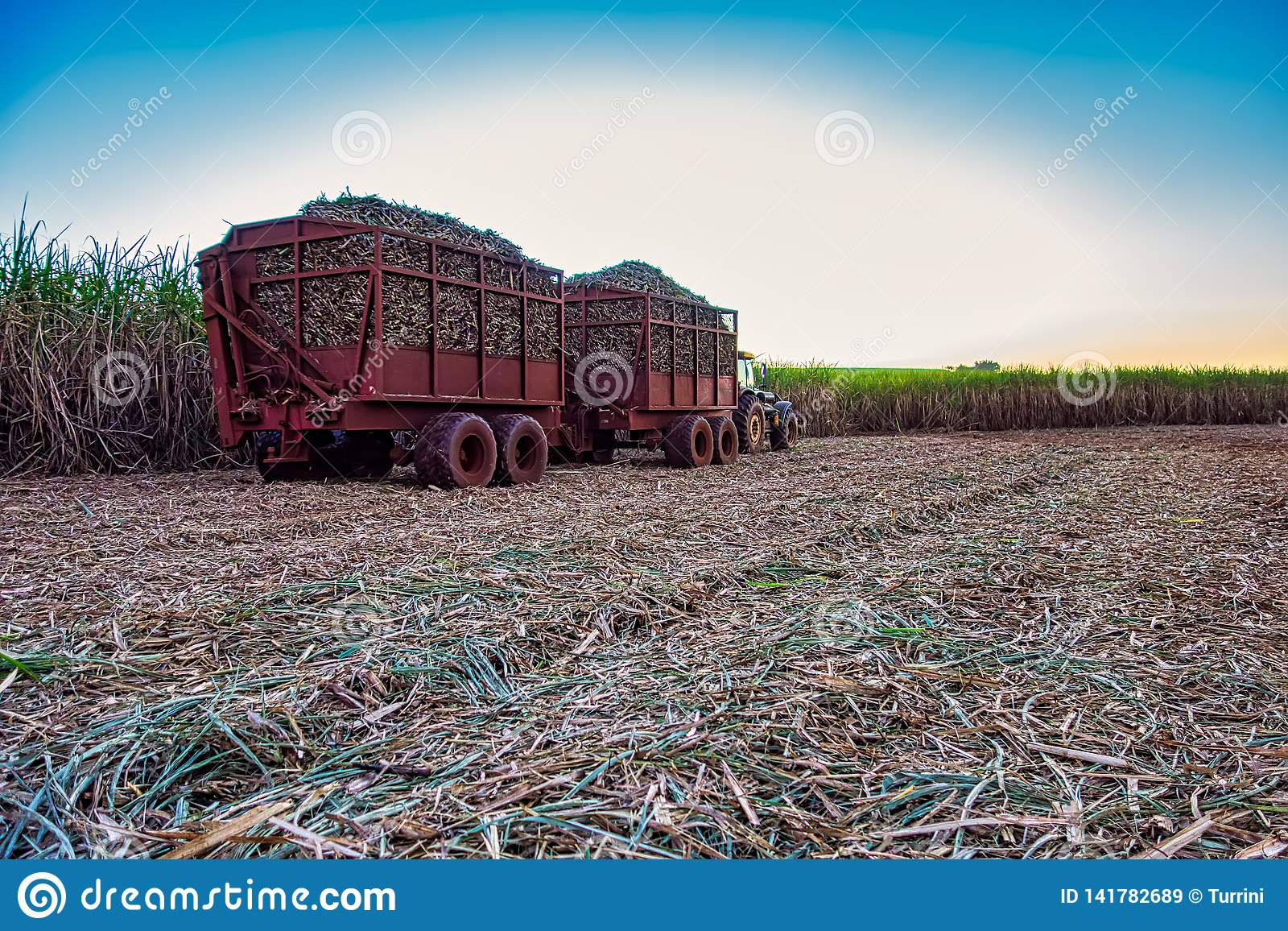 Suikerrietgebied het mechanische oogsten met een tractor dragende oogst