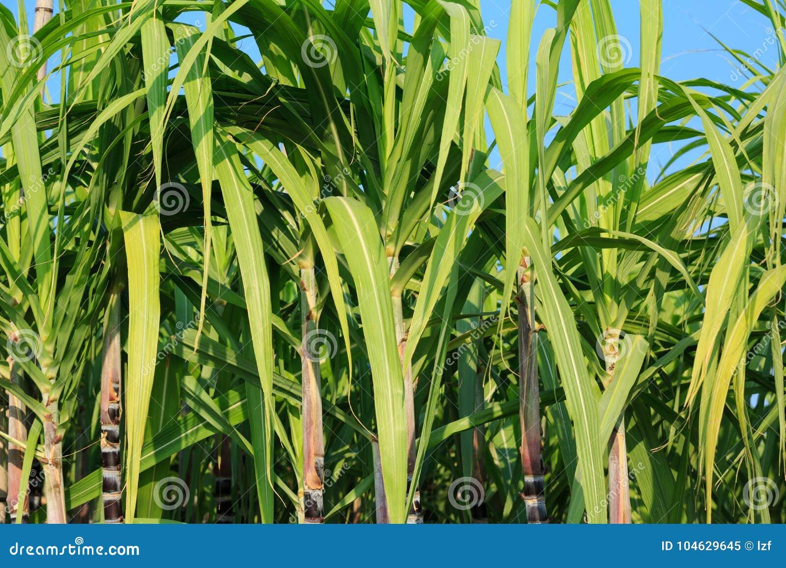Download Suikerrietinstallaties Bij Gebied Stock Afbeelding - Afbeelding bestaande uit landbouw, fruit: 104629645