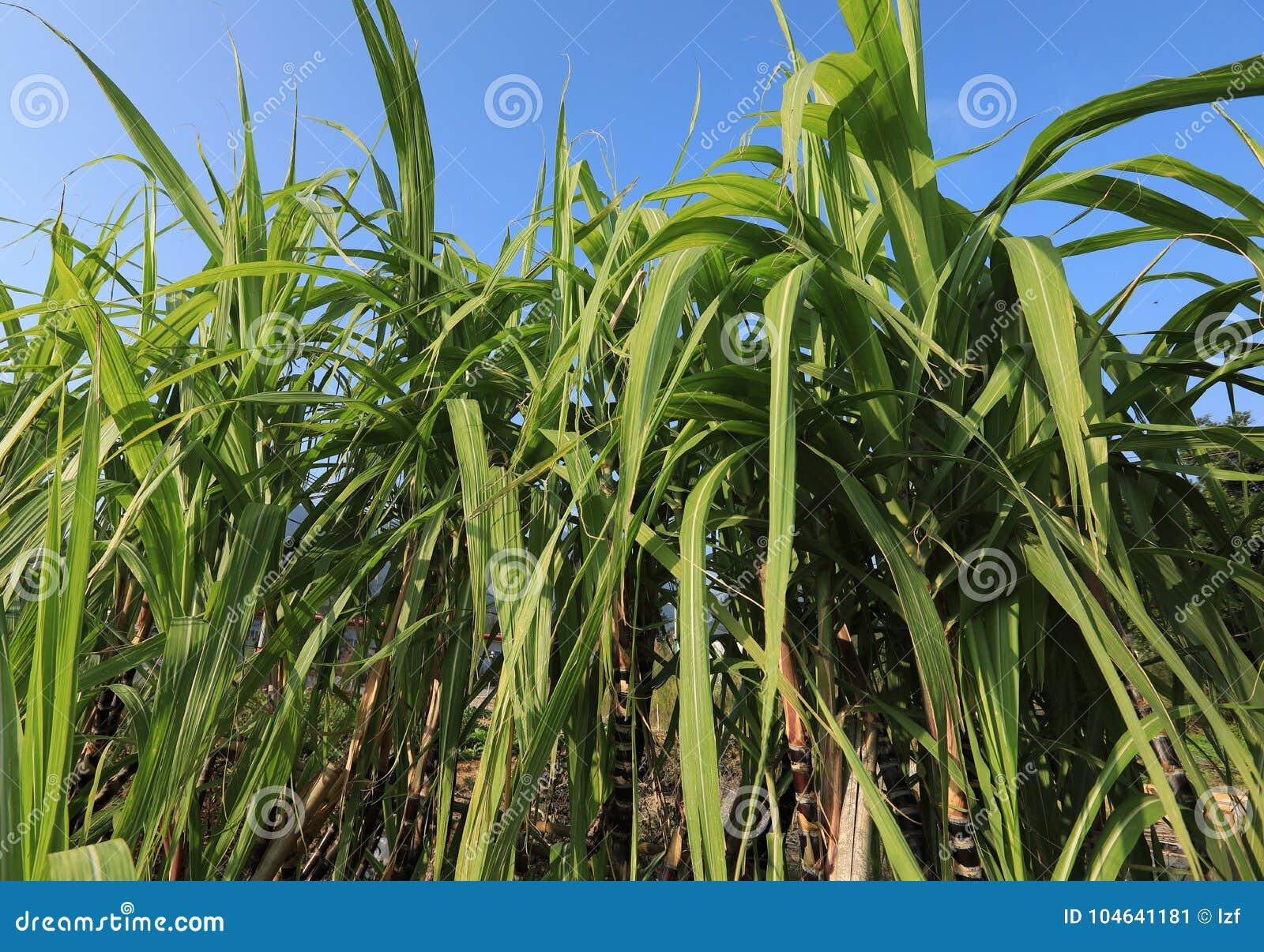 Download Suikerrietinstallaties Bij Gebied Stock Afbeelding - Afbeelding bestaande uit platteland, growing: 104641181