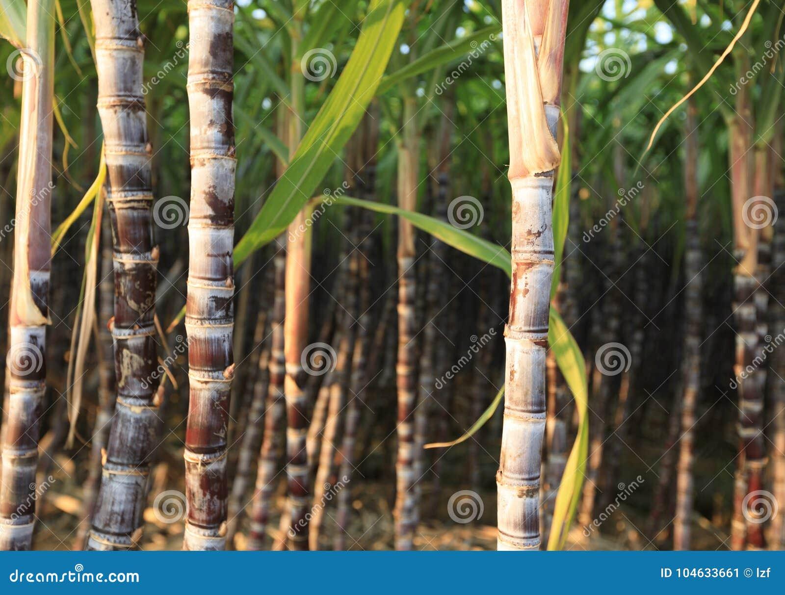 Download Suikerrietinstallaties Het Groeien Stock Afbeelding - Afbeelding bestaande uit bladeren, steel: 104633661