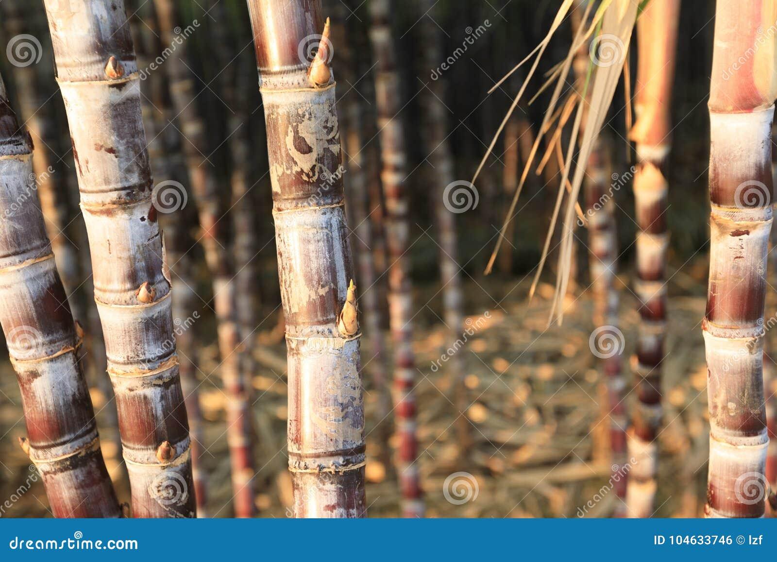 Download Suikerrietinstallaties Het Groeien Stock Foto - Afbeelding bestaande uit china, nave: 104633746
