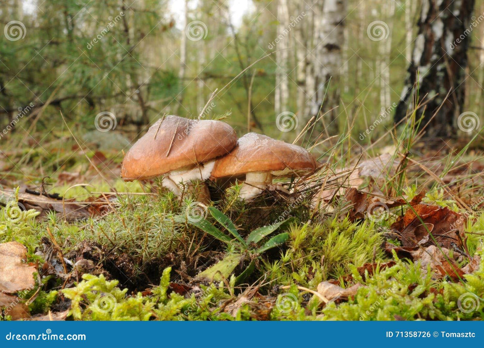 Suillus luteus Pilz mit Bäumen des Waldes im Hintergrund