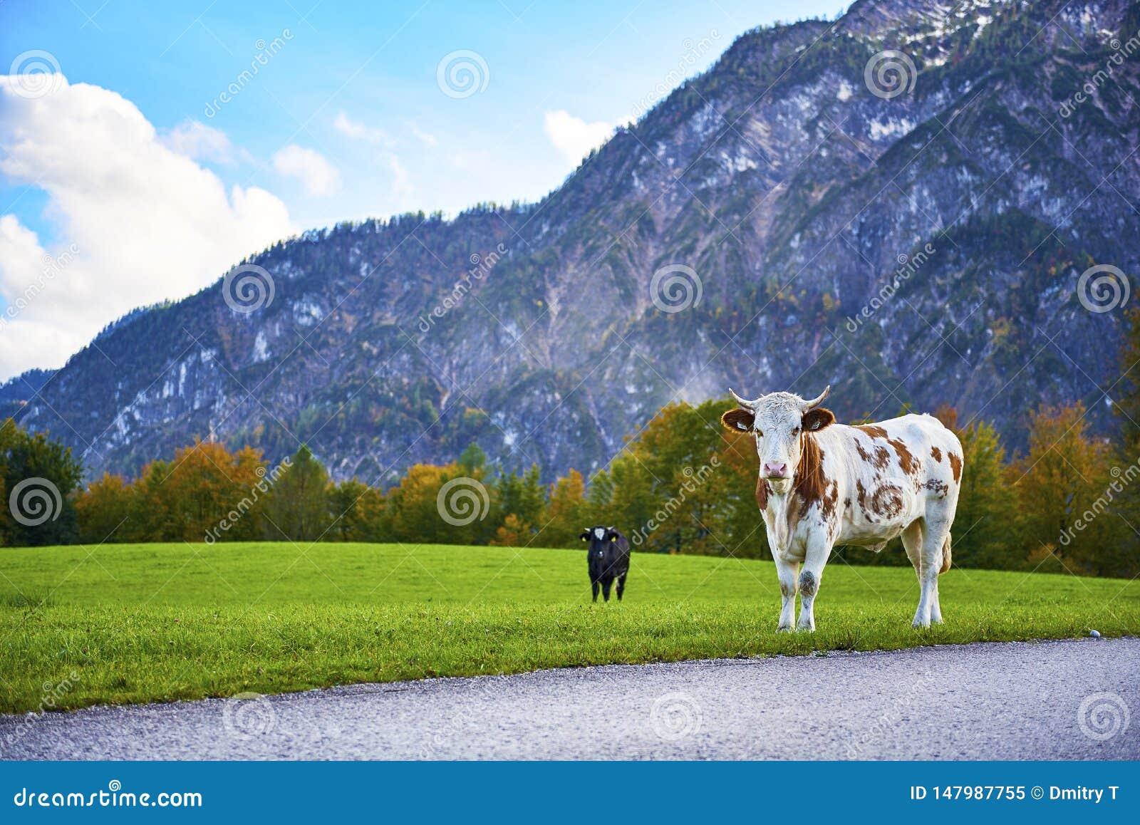 Sul pendio di collina dell erba verde sono due mucche Alpi austriache Montagne boscose circondate dai prati alpini verdi