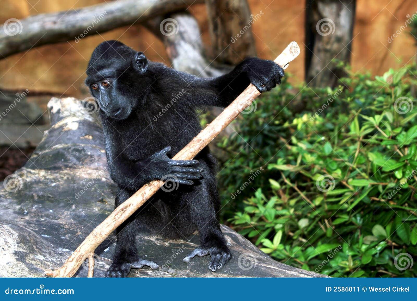 Sulawesi of zwarte macaque