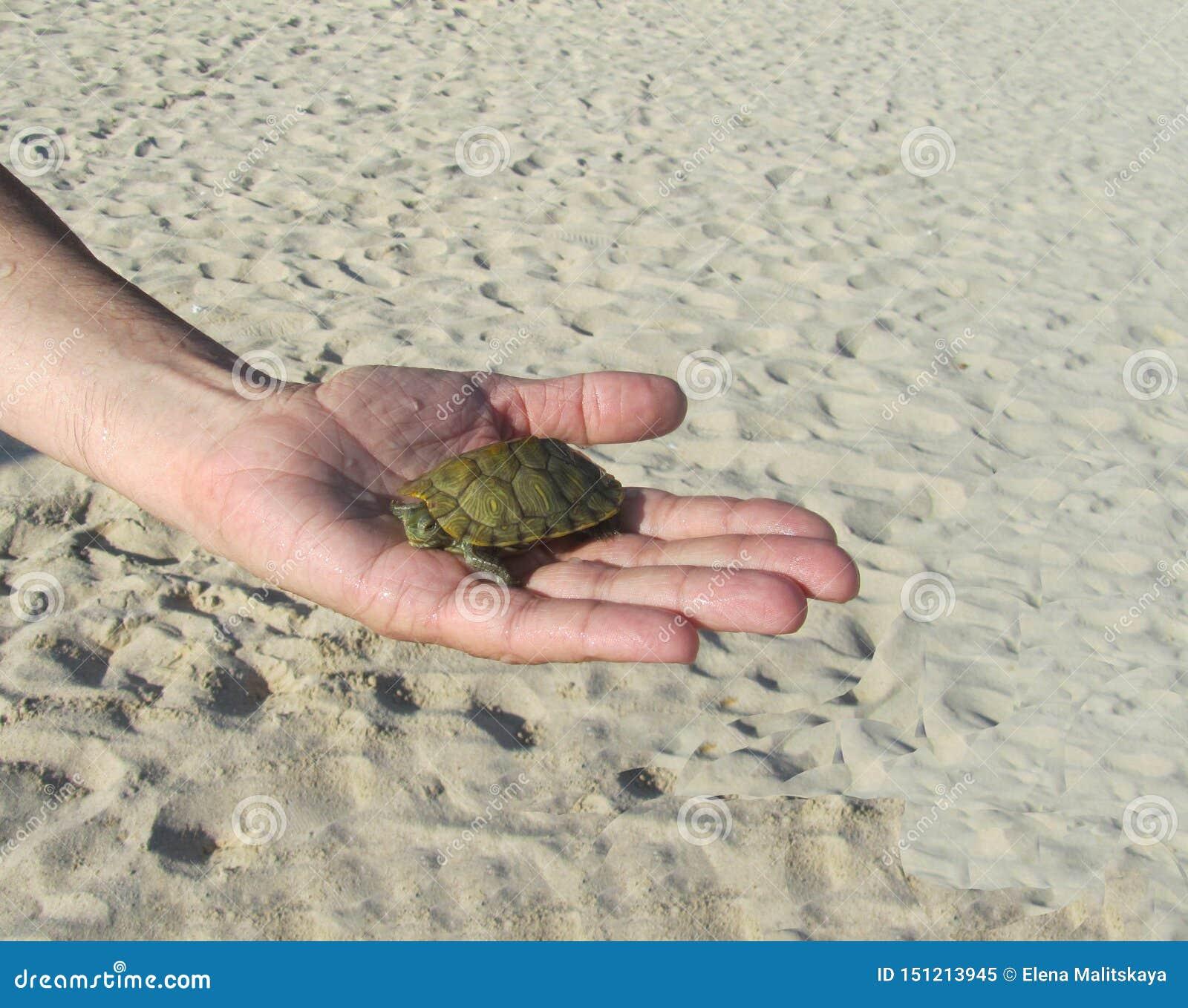 Sulla palma si trova una piccola tartaruga