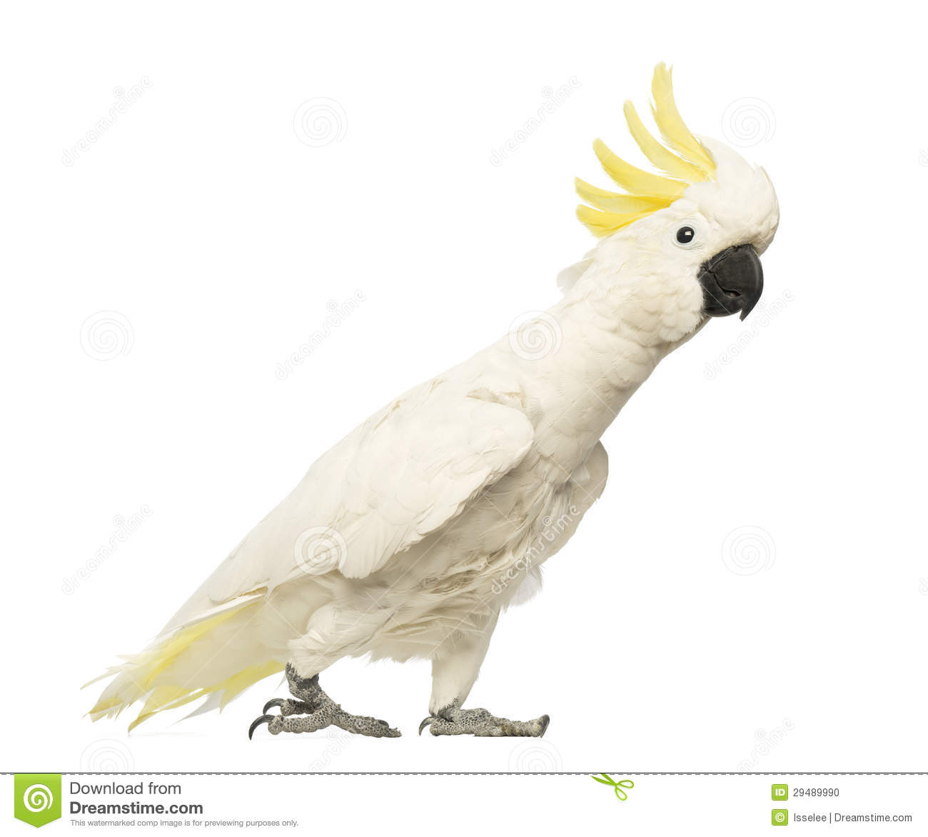 Cockatoo Dog Breed