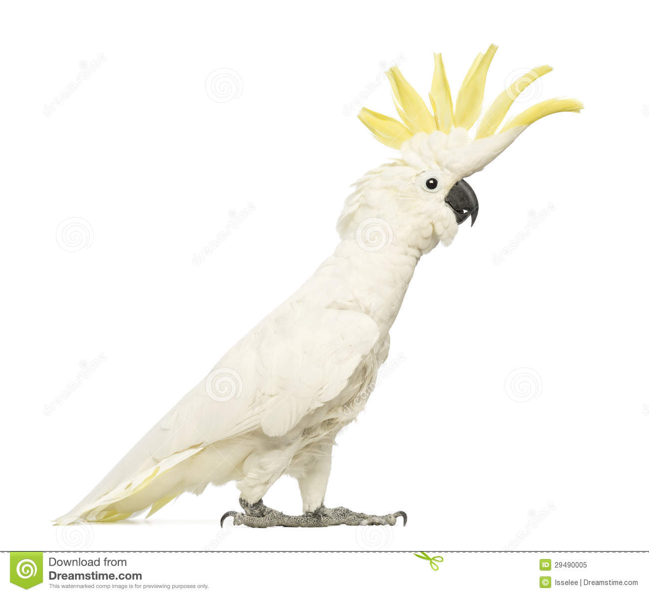 all yellow cockatiel