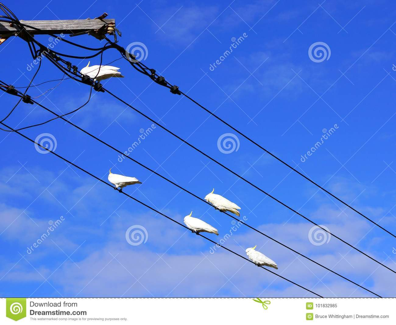 Remarkable Sulphur Crested Cockatoo Birds Australia Stock Image Image Of Wiring Digital Resources Sapebecompassionincorg