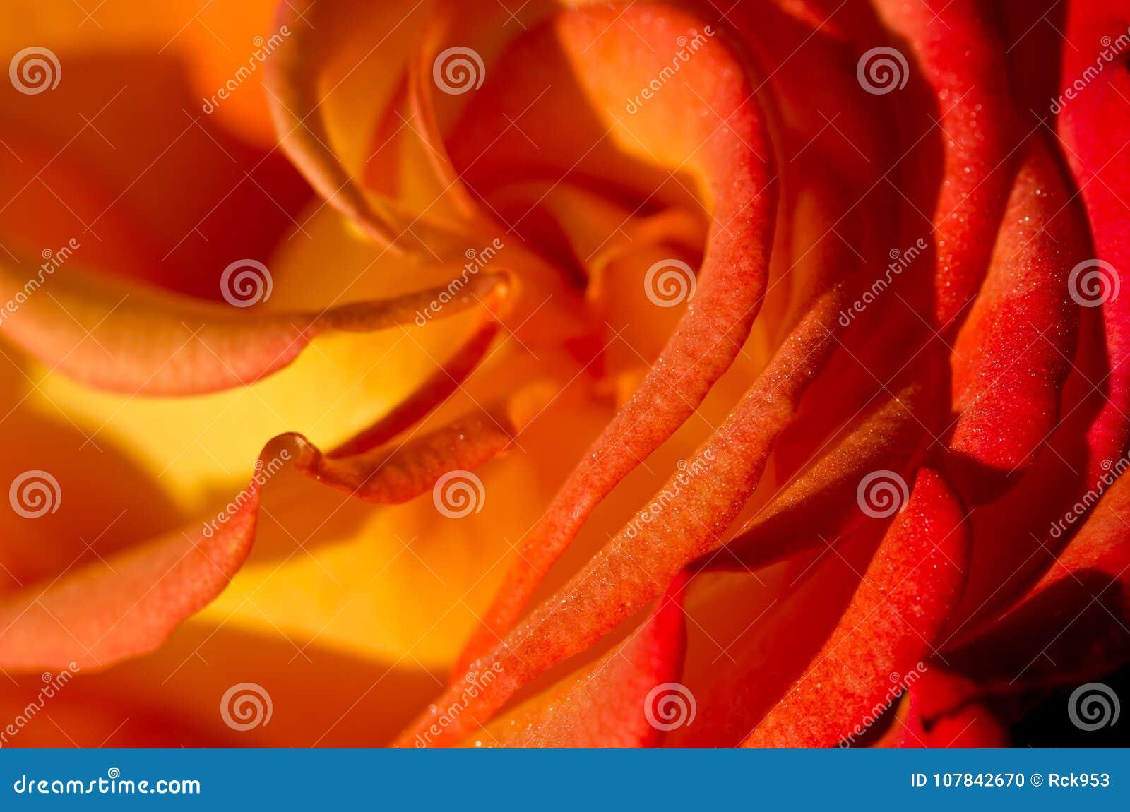 Sumário da natureza: Perdido nas dobras delicadas da Rosa delicada