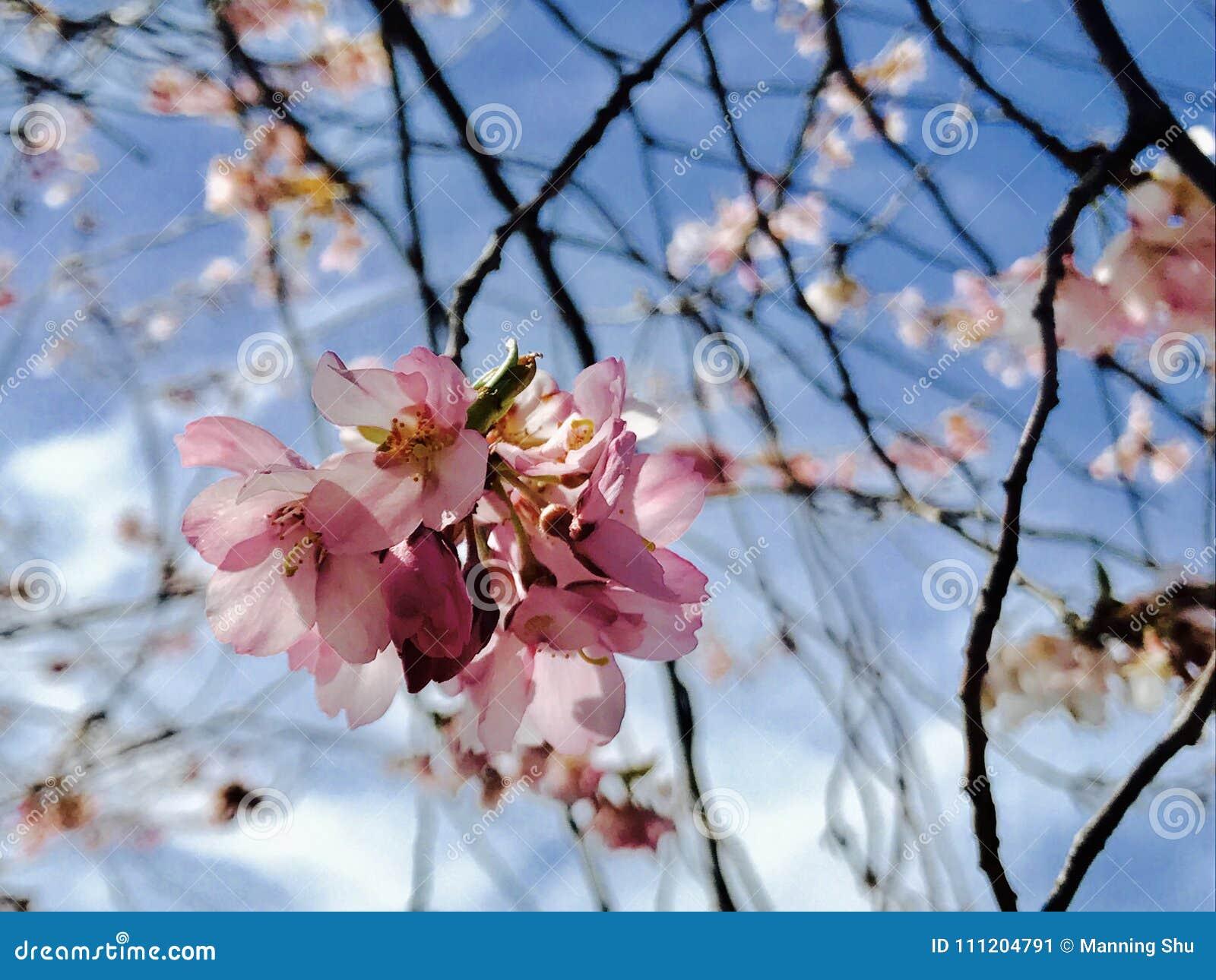 Sumário próximo acima de Cherry Blossom cor-de-rosa na mola adiantada