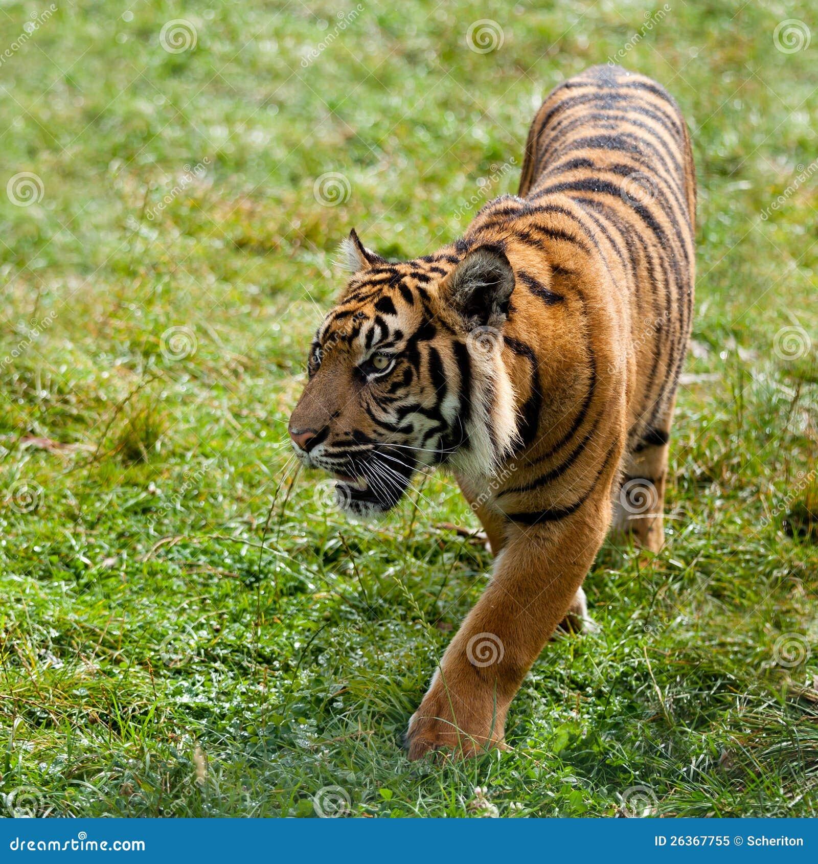Sumatran Tiger, der durch Gras Nachrichtenmengendosierung ist
