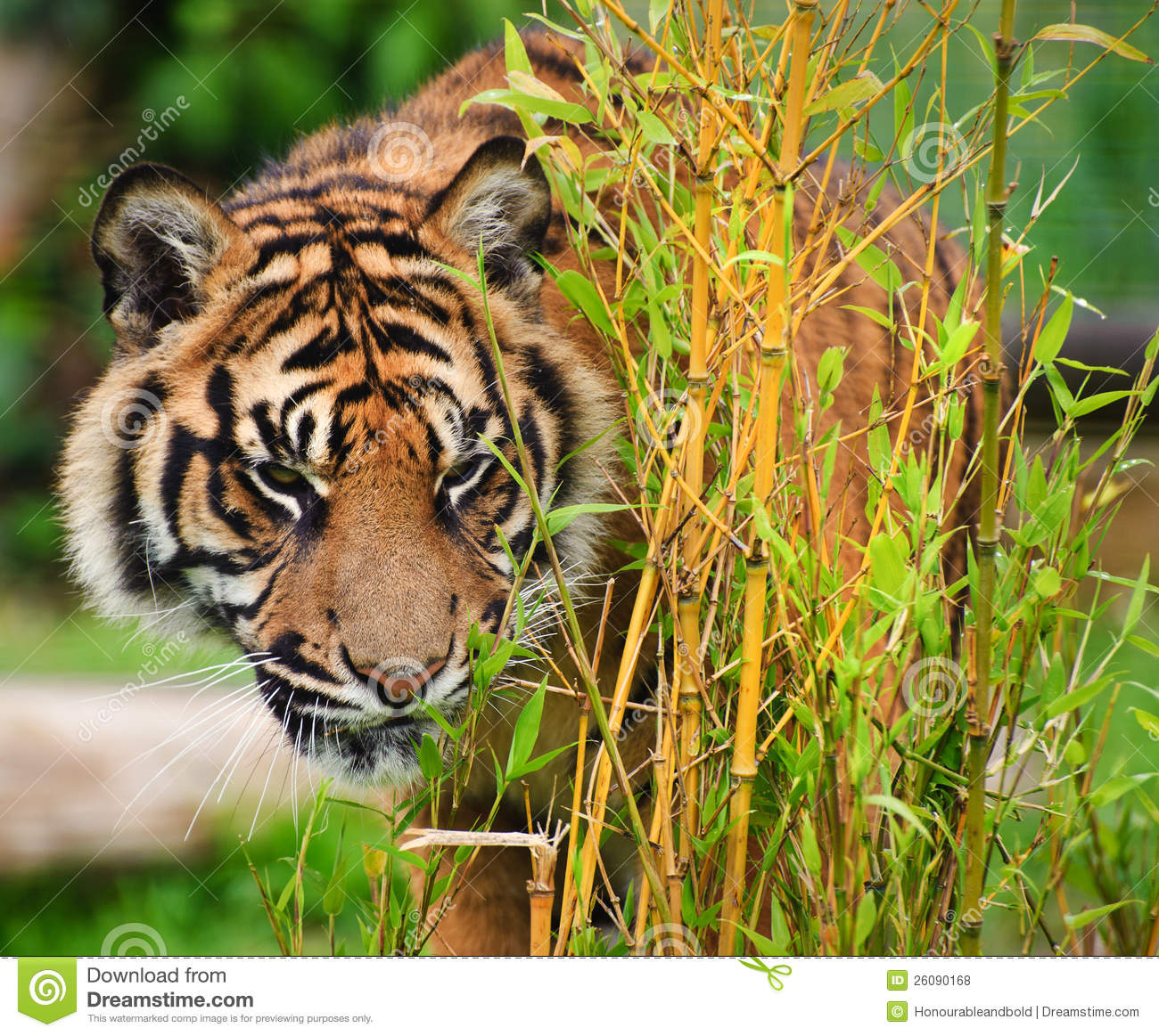 sumatran tiger map with Royalty Free Stock Photos Sumatran Tiger Panthera Tigris Sumatrae Image26090168 on 9148465357 likewise 5936486606 as well Diffusione E Habitat additionally 4220407336 together with 11.