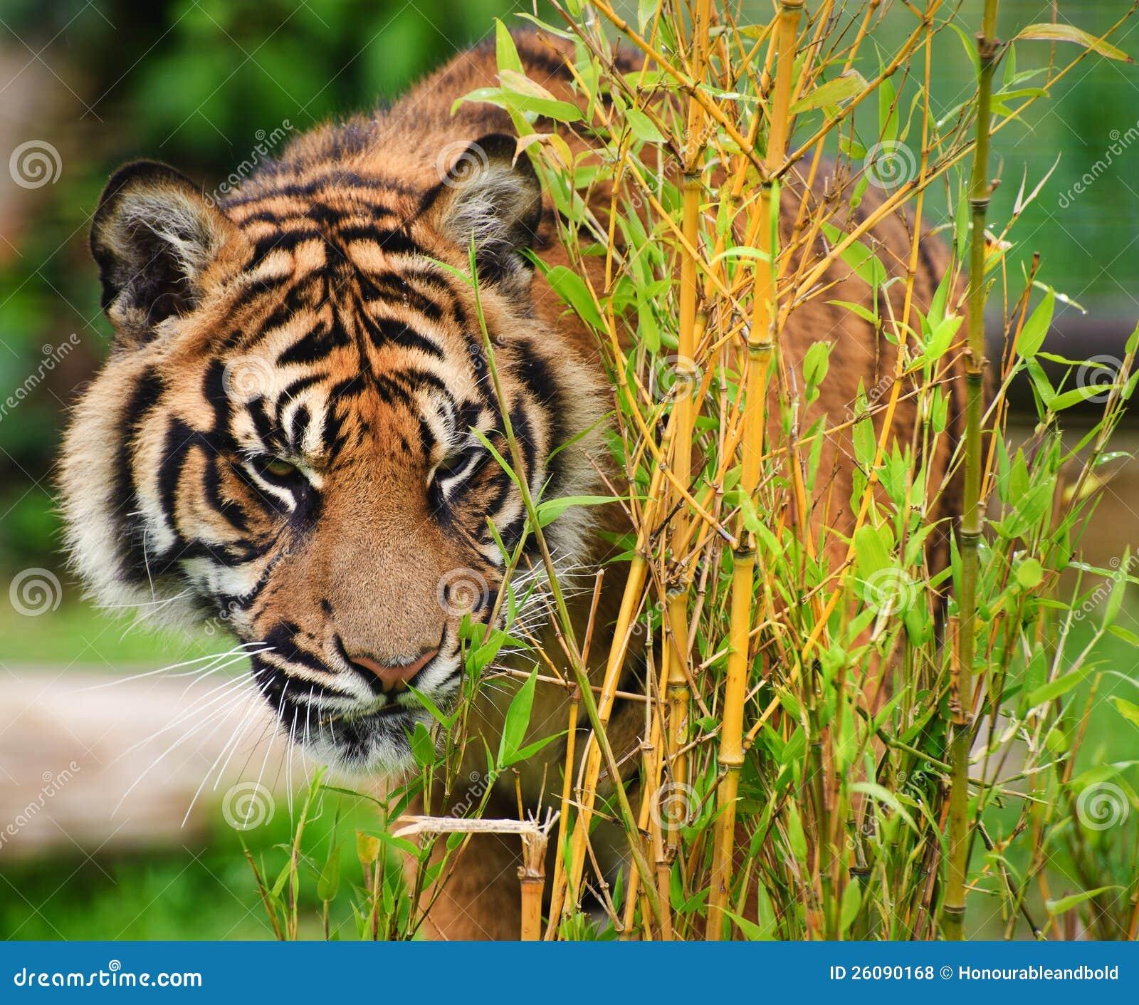 Sumatran Tiger Panthera Tigris Sumatrae Royalty Free Stock Photos ...