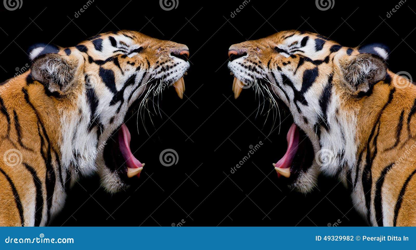 sumatran tiger roaring stock photo image of asia might
