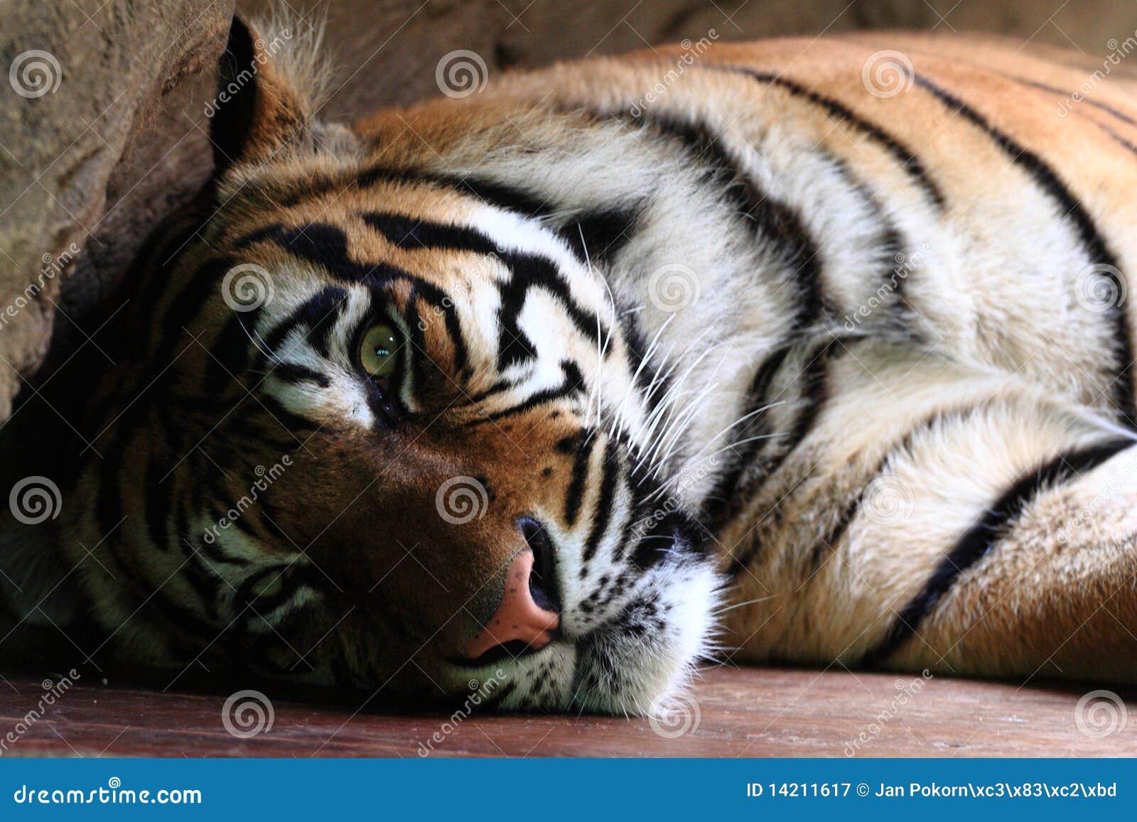 Sumatran tygrys