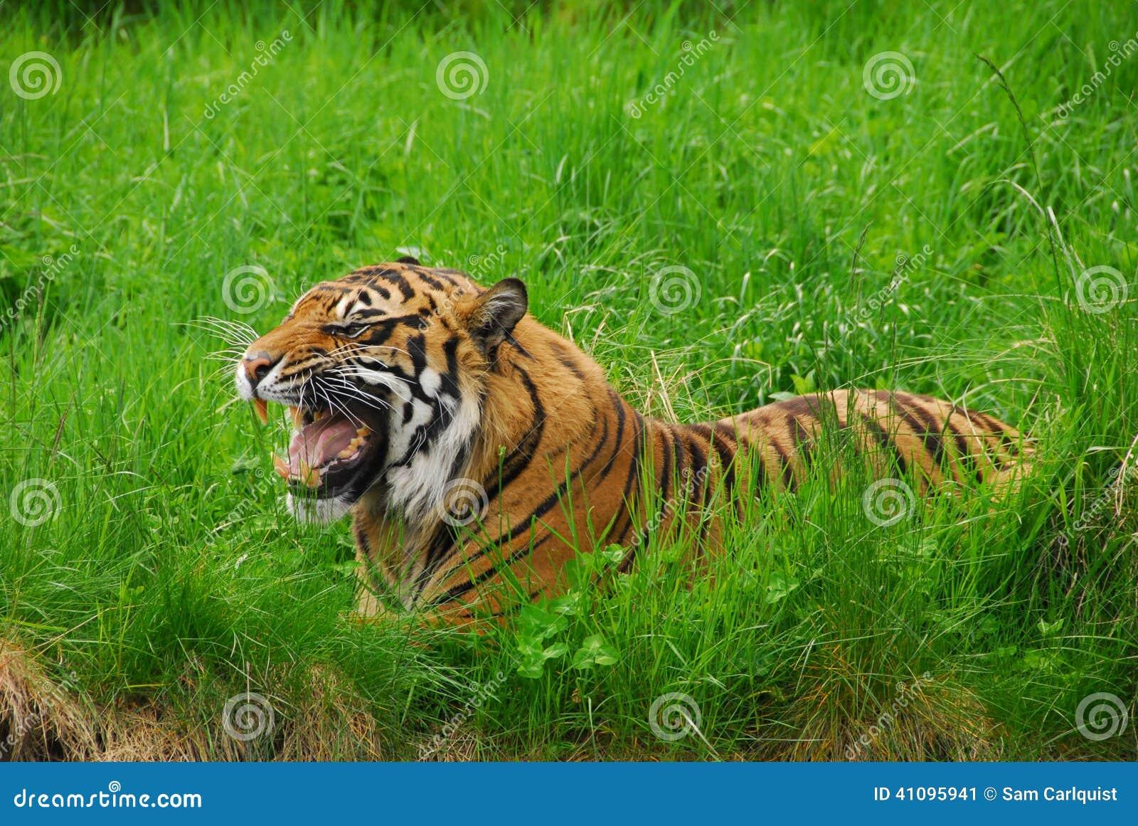 Sumatran Tygrysi warczenie