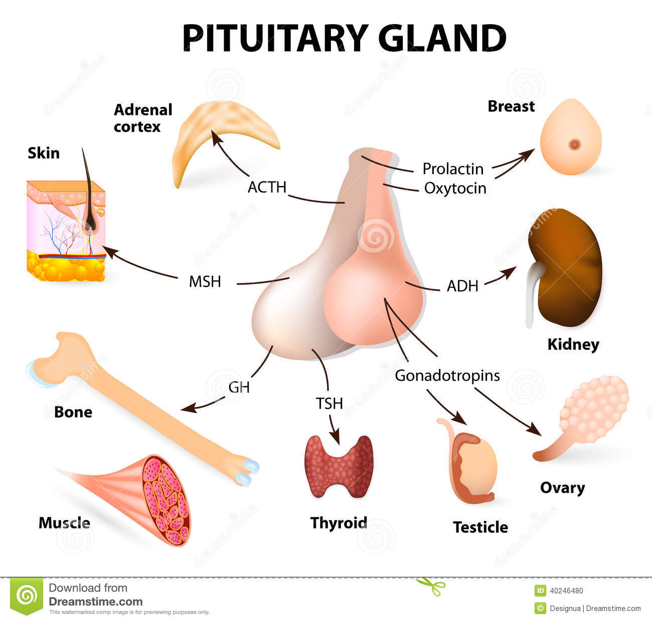 Summary Hormones Secreted From The Pituitary Gland Stock Vector