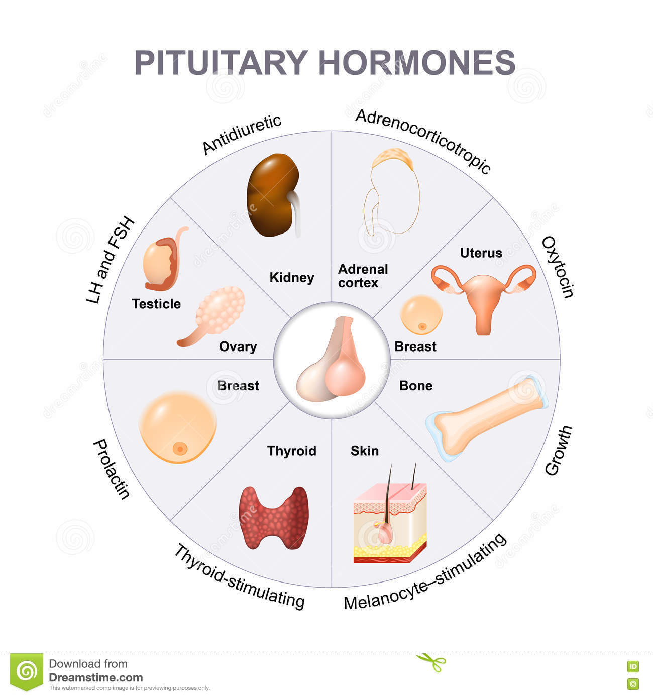 Summary Hormones Secreted From The Pituitary Gland Stock Vector ...