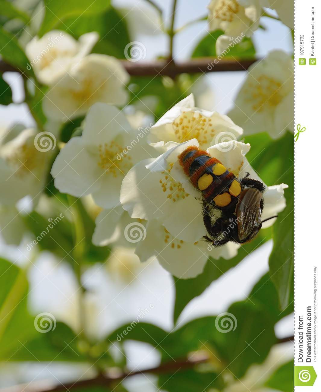Summer background of jasmine flowers with insect hornet stock photo download summer background of jasmine flowers with insect hornet stock photo image of against izmirmasajfo