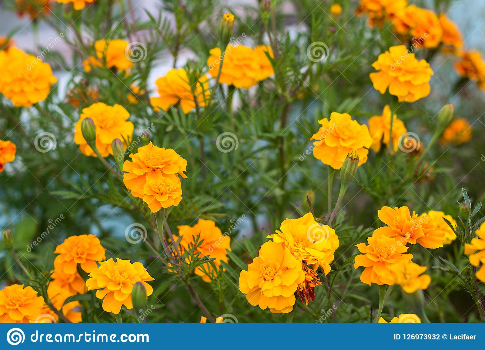 Summer background with growing flowers calendula, marigold.