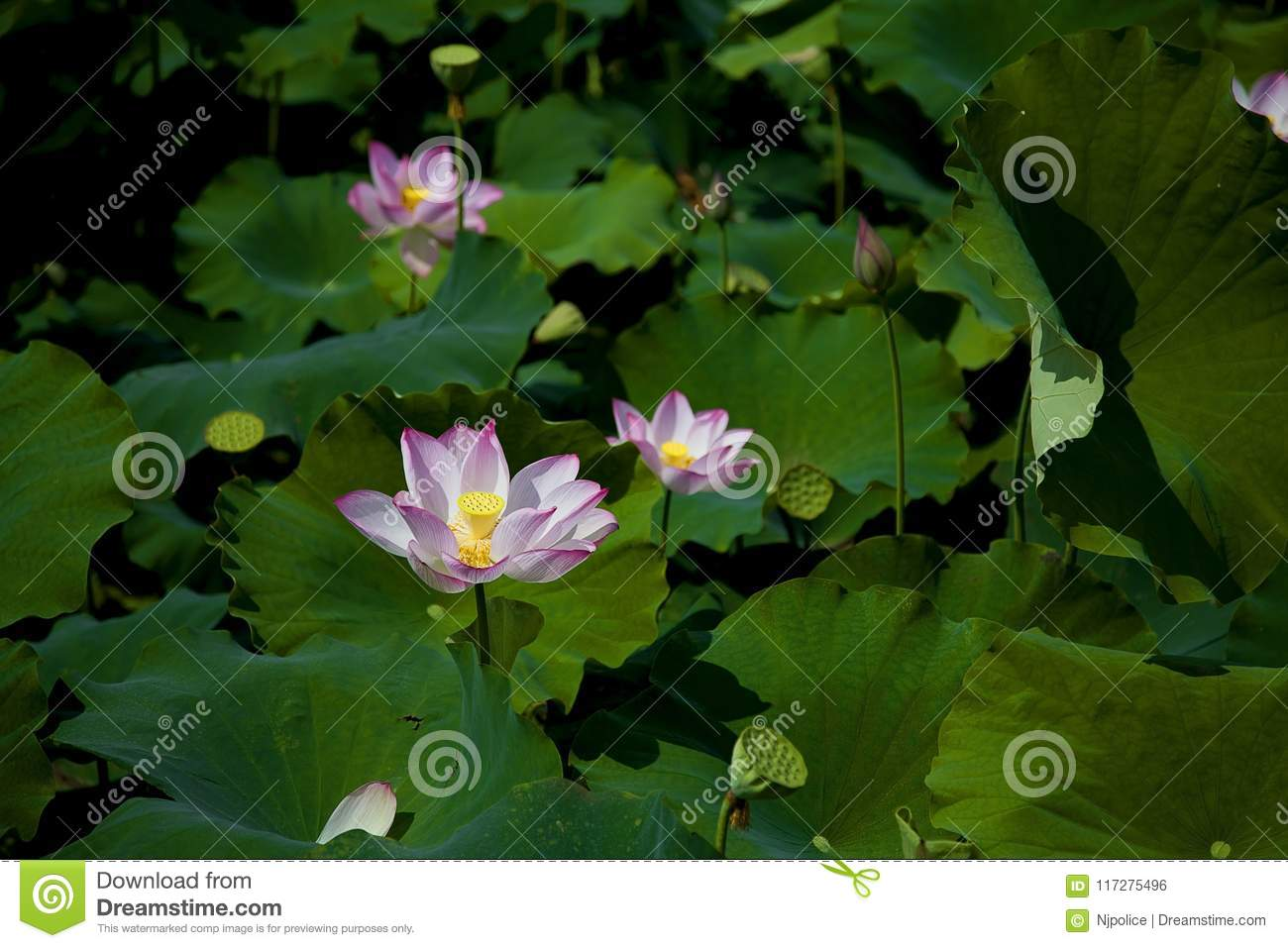 Blooming Lotus Flower Stock Photo Image Of Mild Pure 117275496
