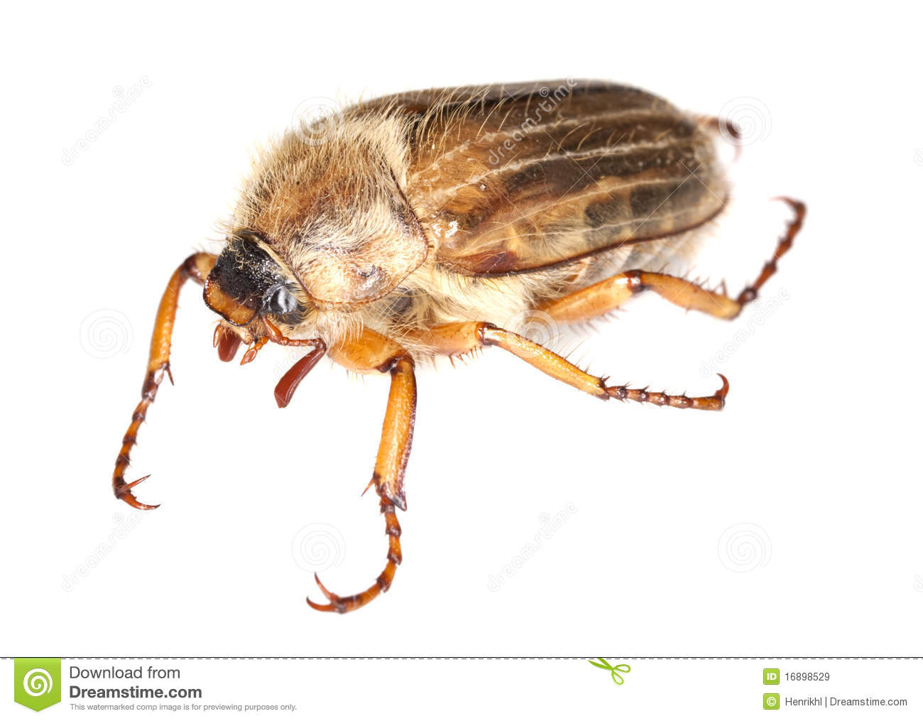 Summer Chafer Amphimallon Solstitiale Royalty Free Stock