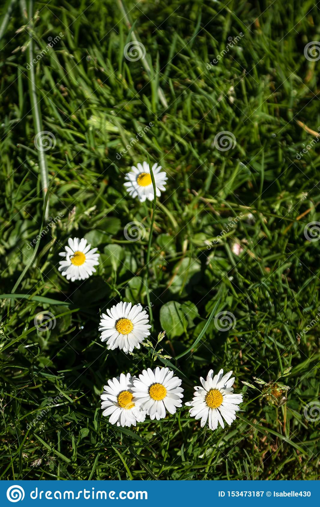 Summer Daisies in the Grass