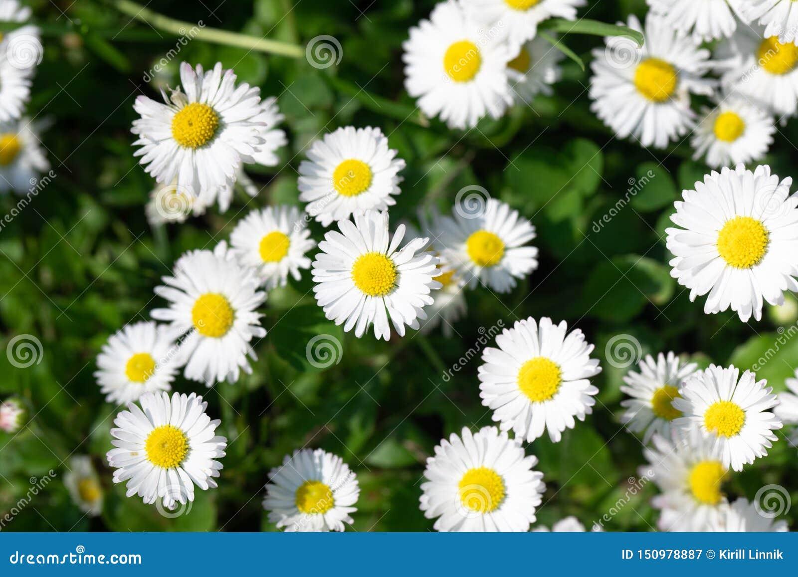 Summer daisys