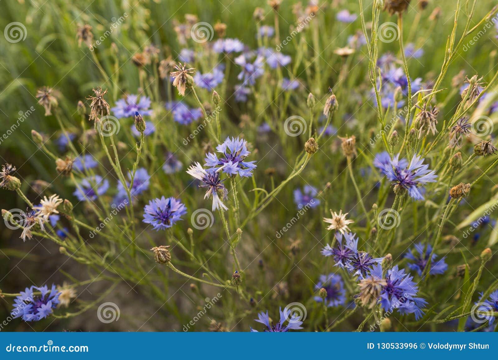 Summer field flowers in the field cornflower.
