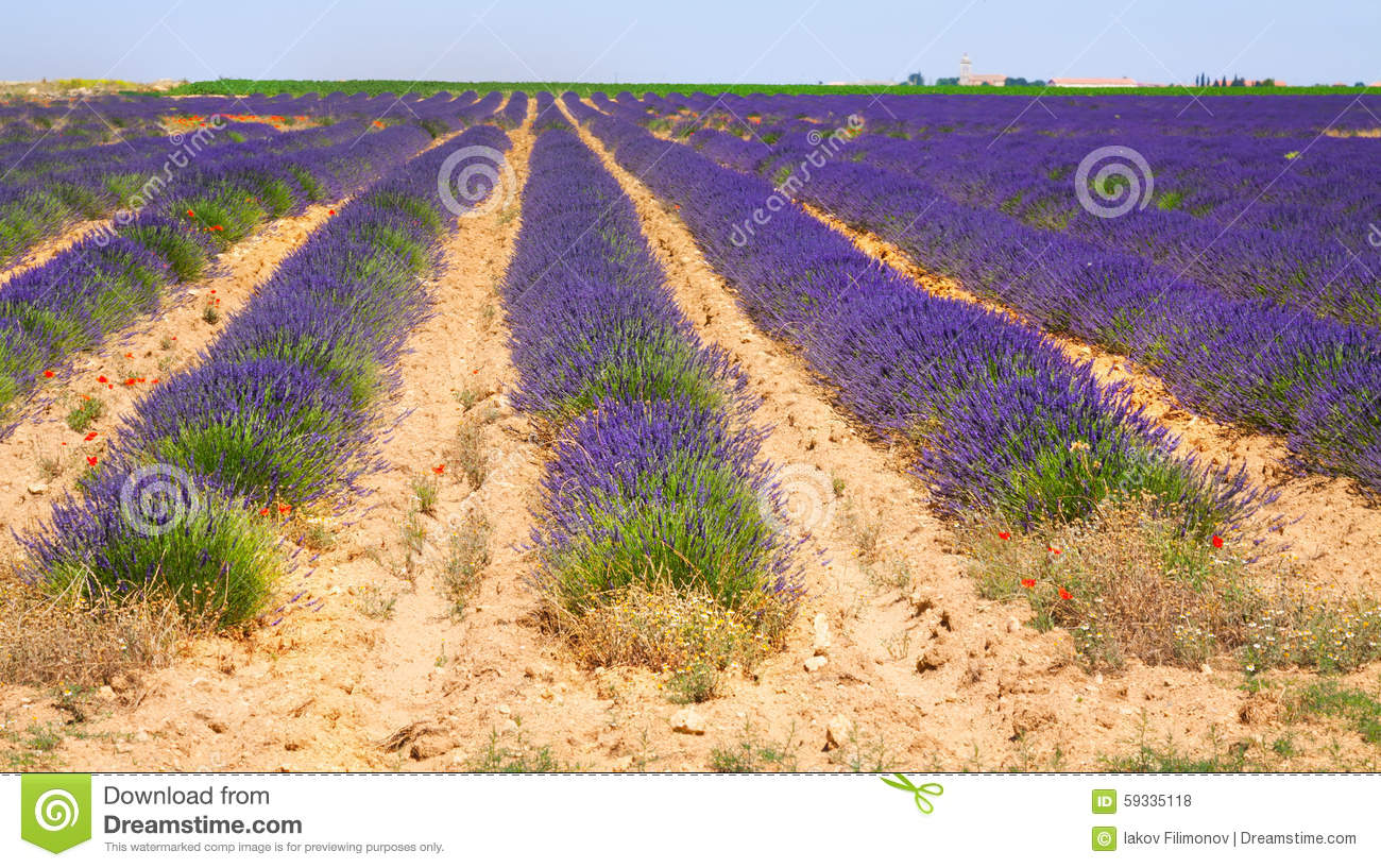 Summer field with plant of blue lavender