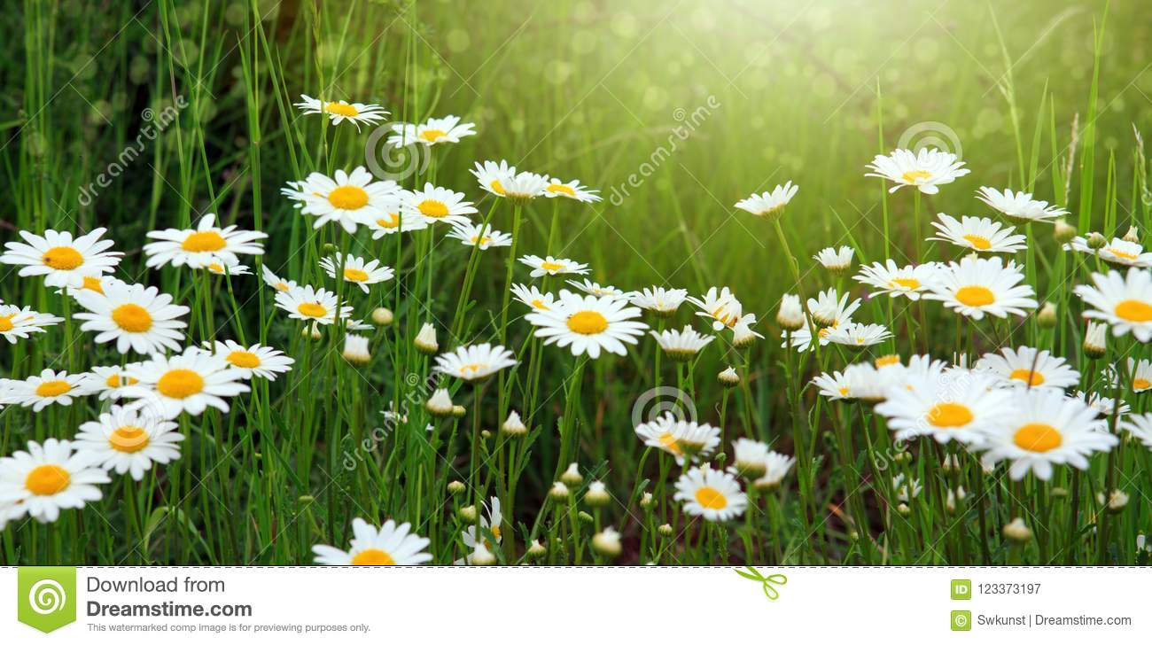 Summer Field With White Daisy Flowers Flowers Background Stock
