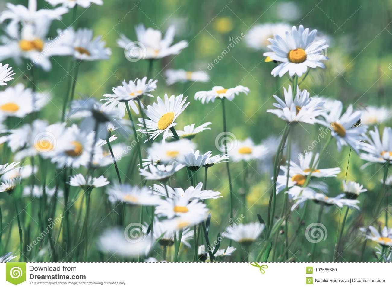 Summer Field With White Delicate Flowers Daisies Stock Photo Image