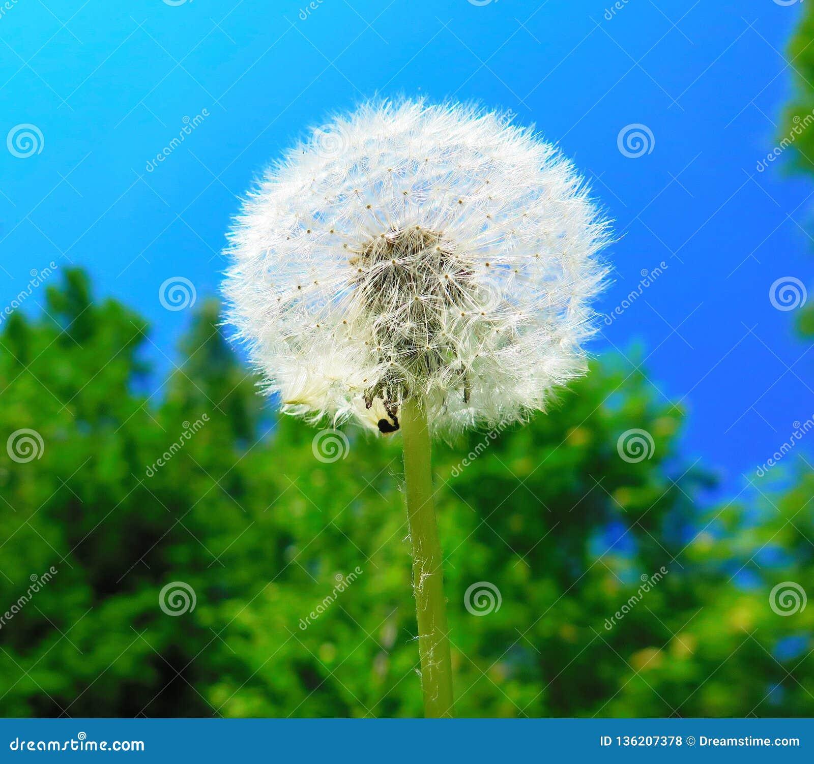 Summer flower air dandelion, fluffy ball.