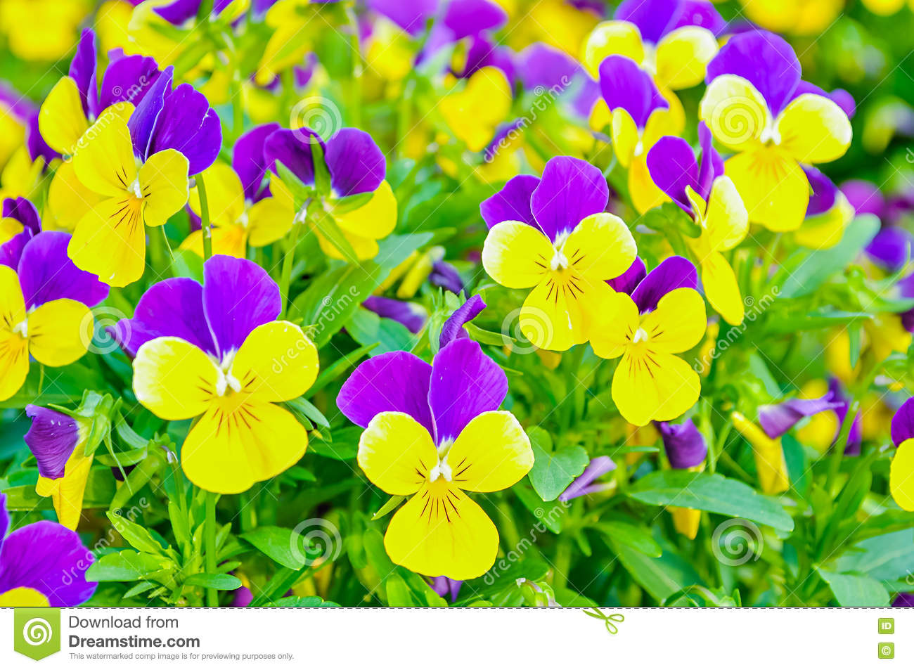 Summer Flower Background Field Of Pink Yellow And Blue Summer