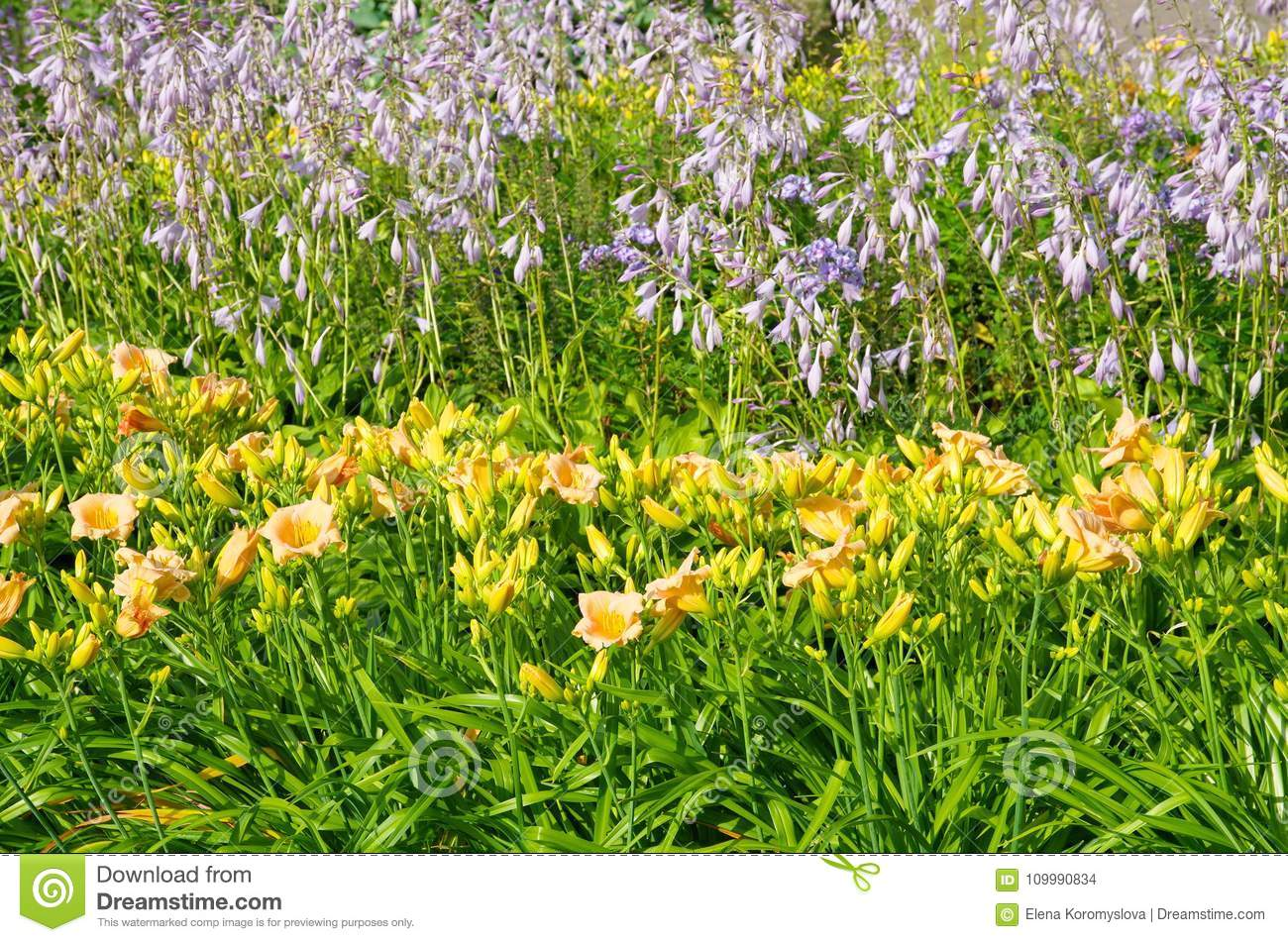 Daylilies And Hosta Bloom In The Garden Stock Photo Image Of
