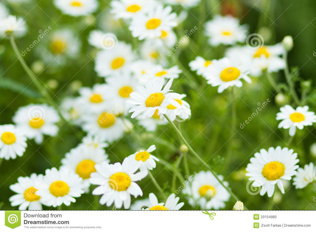 Summer flowers stock photo image of spring flora garden 20154980 many white summer flowers on the meadowns mightylinksfo