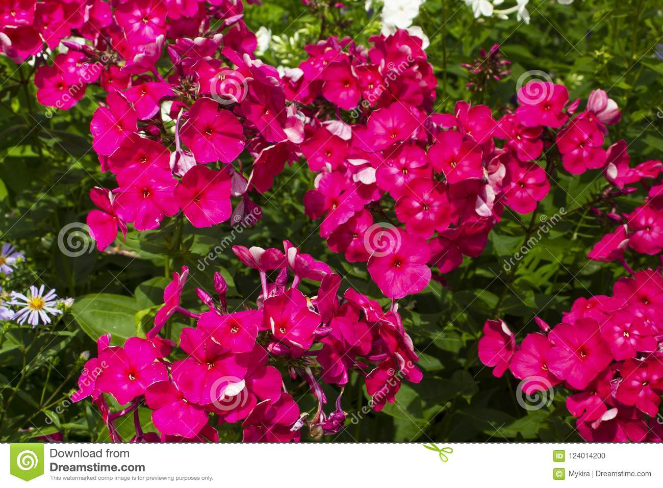 Download Summer Flowers. Blooming Of Pink Phlox In Russia Stock Photo - Image of color, spring: 124014200