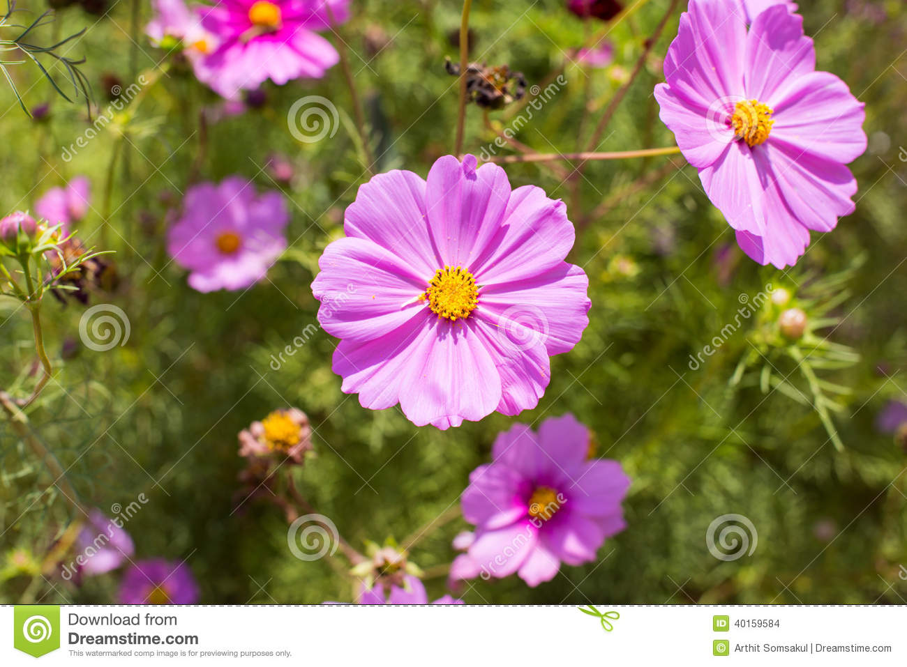 Summer Garden With Cosmos Flowers Stock Photo Image Of Botany