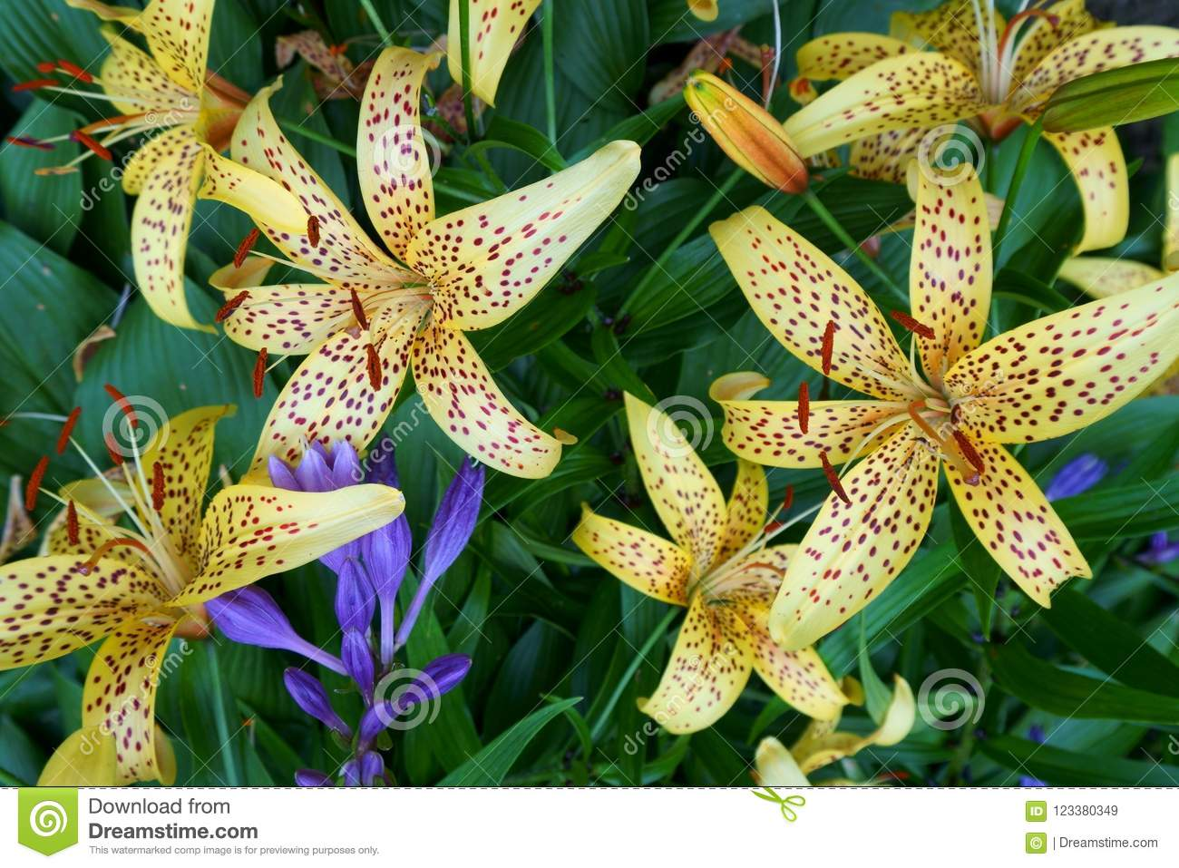 Close-up of yellow tiger lily and one blue bell