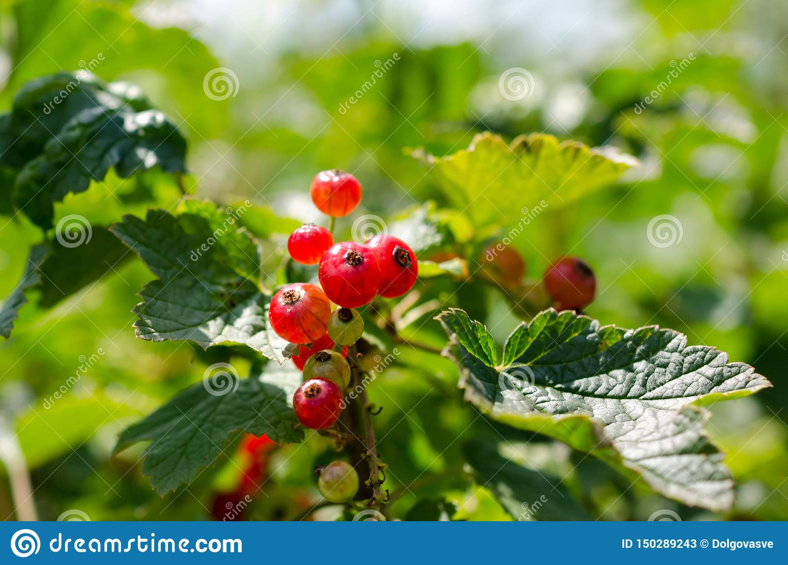 Summer harvest, red currant grows on a bush in the garden