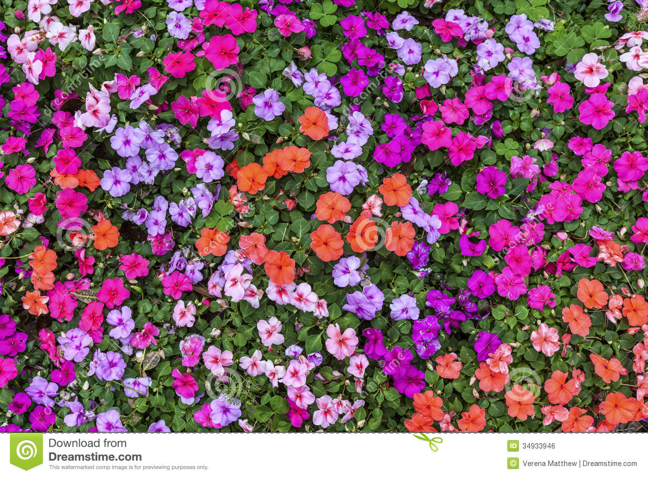 Summer impatiens royalty free stock image image 34933946 for Beautiful flowers to plant in your garden